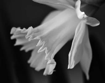 Black and White Flower Photography Floral Prints Daffodil Photography Macro Photography Monochrome Daffodil Art Bedroom Decor Kitchen Decor