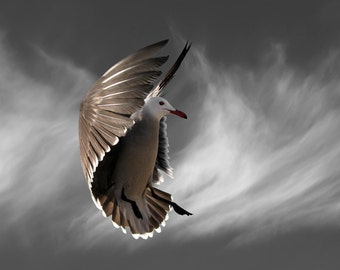 Bird Photography, Seagull, Heermann's Gull, Limited Edition Fine Art Print, Hover with Cirrus Clouds