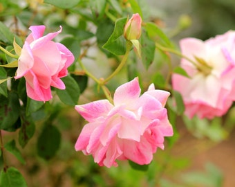 Flower Photography - Pink Roses in a Cottage Garden - Spring Photo Print Size 8x10, 5x7, or 4x6
