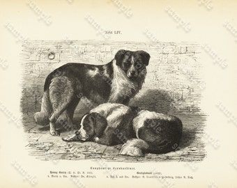 Original Antique Natural History Print -   Bernhardiner  Dogs -  Black & white Illustration