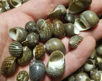 Mixed Nerita Snail Small Shells Seashells Black Brown White ZigZag Striped Spotted Pattern Art Crafts Sailor Valentine Supplies Spiral Top