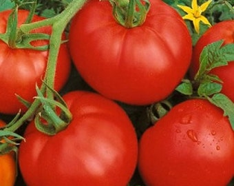 Tomato Bonny Best 500 Tomato Seeds Vegetable Seeds