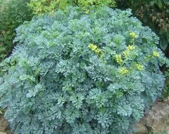 100 Rue Seeds Herb Seeds