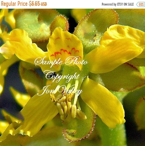 Caesalpinia bonduc 3 big seeds sea pearl plant rare small patio tree caesalpinia bonduc 3 big seeds sea pearl plant rare small patio tree drought tolerant bright yellow flowers bloom all summer from serendipityseeds on etsy mightylinksfo