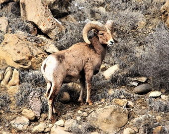 Big Horn in the Bookcliffs,,wildlife,colorado,rocky mountains.,
