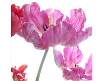 Pink Tulip Photography , Parrot Tulip Still Life, Flower Photography, Tulip Art, Nursery Decor, Tulip Print