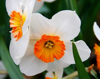 White and Orange Daffodil Magnet-ready to ship