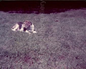 Vintage Photo, Beagle Dog on Lawn, Color Photo, Found Photo, Snapshot, Old Photo, Dog Photo, Vernacular Photo, Pet Photo, Animal Photo
