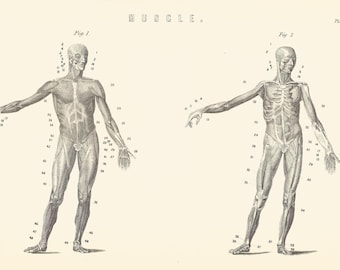Muscle Human Anatomy Human Form Human Torso Medical Medicine engraving print 1880 Wall Art Home Decor Vintage Print