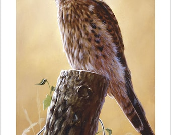 Kestrel in early morning light. Wildlife Portrait by award winning artist John Silver. Personally signed A4 Print. WI002SP