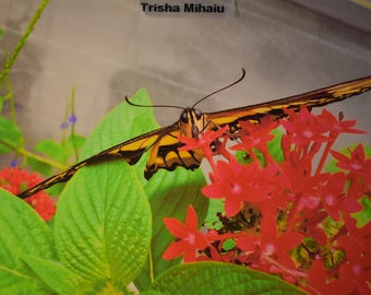 Monarch Butterfly 11x14 Matted, 2  5x7 photo cards, 2 4x6 in mats, 3 extras not matted. Trisha Mihaiu-Florida- 8 photos!