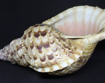 Triton's Trumpet Extra Large Seashell 14x5in