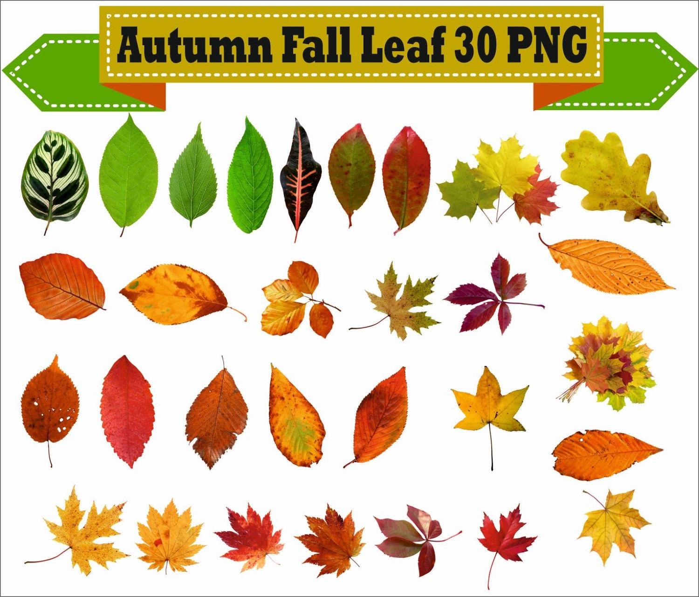 Otoño otoño hoja dibujo botánica para colorear madera PNG Clipart ...