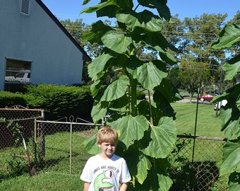 50+ Sunflower Seeds- Russian Mammoth- Heirloom- Helianthus- Organically Grown