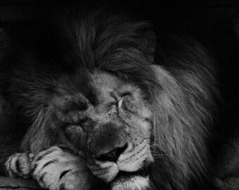 Lion photography - Fine Art Photography Print, Lion Photography, Wildlife photography, Nature Print