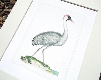 White Crane 4 with Pale Blue Water Fine Art Archival Print