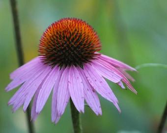 Coneflower - Flower - Digital Download - Instant