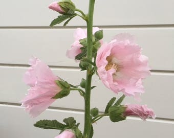 Pink Hollyhock - heirloom, non-GMO, organically grown - tall, beautiful, old-fashioned and lovely bi-annual - 15 seeds