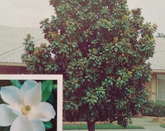 Southern Magnolia Tree 5 gallon Flowering New Plants Plant Large Flowers Easy to Grow Your Own Trees Now Healthy Home Garden Landscaping