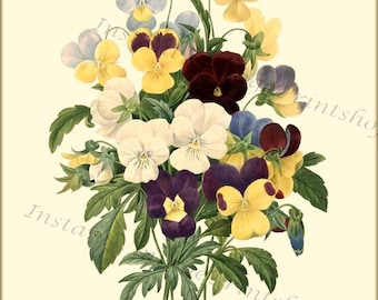 PANSIES Redoute Antique Botanical 8x10 digital download