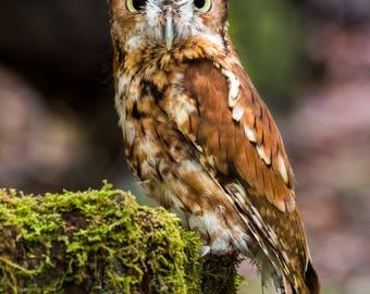 Screech Owl, owl, bird of prey, nature