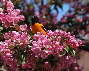 Baltimore Oriole, bird photograph, nature print, wall art, bird lovers gift, apple blossoms, pink, orange, green, gift under 20