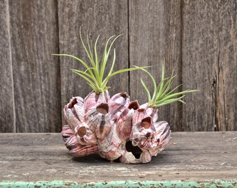 Large Natural Purple Coastal Barnacle Cluster Air Plant Holder Succulent Planter