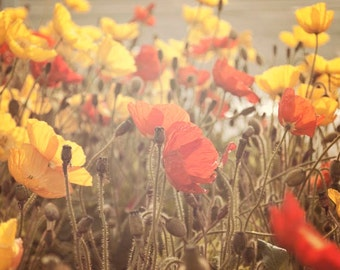 "Boho Wall Art, Rustic Floral Photography, Poppy Flowers, Red Yellow Brown Beige , Soft Sunlight, ""Fading Beauty"""