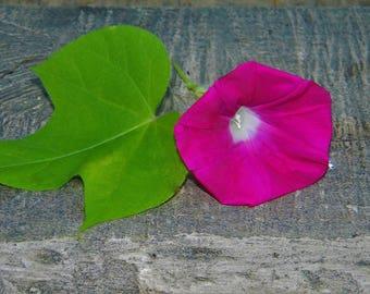 Heirloom NON GMO Scarlet O' Hara Morning Glory Seeds QTY. 15