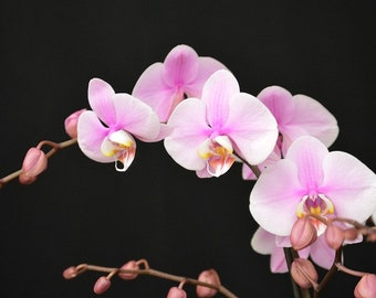 pink orchid photograph, orchid photography, nature photography, orchid photo, flower photography, pink flower photo, interior design,