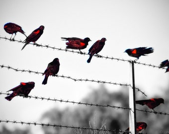 """Black and White Photography - red wing blackbirds on a fence blackbird photography bird wall art red and black decor 8x10 photo  - """"Cadence"""""""