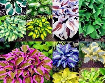 Hosta plantaginea Seeds 100 Pcs *