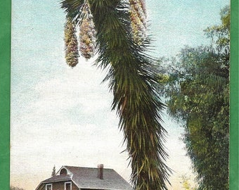Vintage Postcard - A Freak Yucca Palm Growing Near a Farm House in San Bernadino, California  (3022)