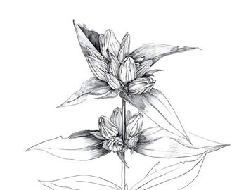Bottle gentian, prairie plant drawn in late summer, graphite drawing, black and white