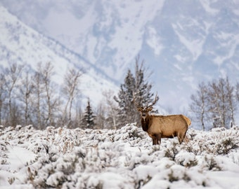 Nature Photography - Wildlife - Elk in the Tetons