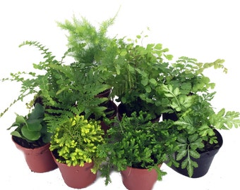 "Mini Ferns for Terrariums/Fairy Garden - 10 Different Plants-2"" Pots"