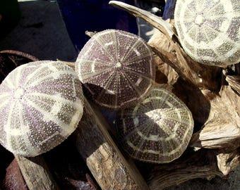 BULK Asst Sizes Wholesale Alfonso Gator Sea Urchins Violet Purple Green Moss Ivory Shell Seashell Supplies Coastal Beach Decorating Decor