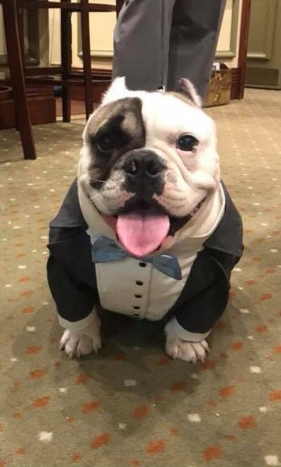 Grey dog tuxedo with light blue bow tie Dog wedding attire