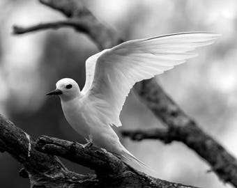 Wildlife Photography, Monochrome, Black and White, Wall Art, Canvas Print, Bird, White Tern, Angel, Wings, Fly, Nature, Animal, Beautiful