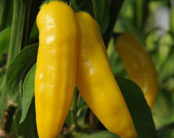 "Live Aji limon/lemon gourmet pepper plant: 3 live 5""to 8""   aji lemon pepper plants. Delectable tasting peppers."