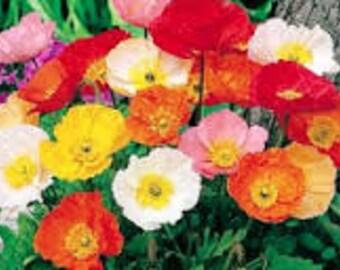 100 Iceland Poppy Perennial (Papaver Nudicaule)  Mix Colors Seeds
