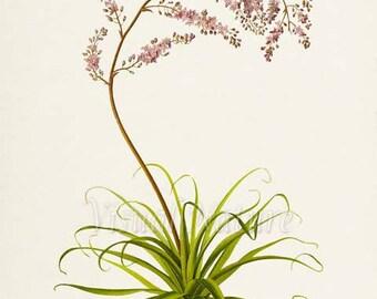 False Agave Flower Art Print, Botanical Art Print, Flower Wall Art, Flower Print, Floral Print, pink