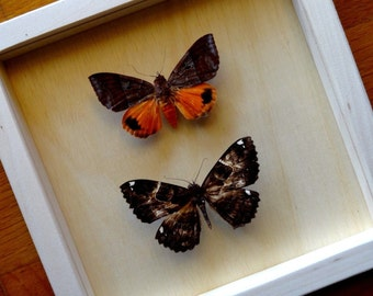 Real 2 Noctuidae Framed - Taxidermy - Home Decoration - Collectibles