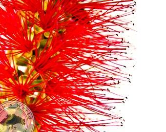 Plant Life Photography | Callistemon Bottlebrush | Digital Download