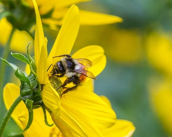 Bee with Pollen, Newry Maine