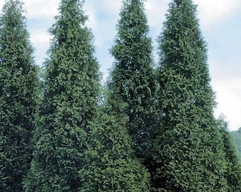 """2 Green Giant Arborvitae Plants(Thuja Green Giant) 3"""" containers"""