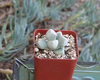Lapidaria Margarethae Succulent Plant