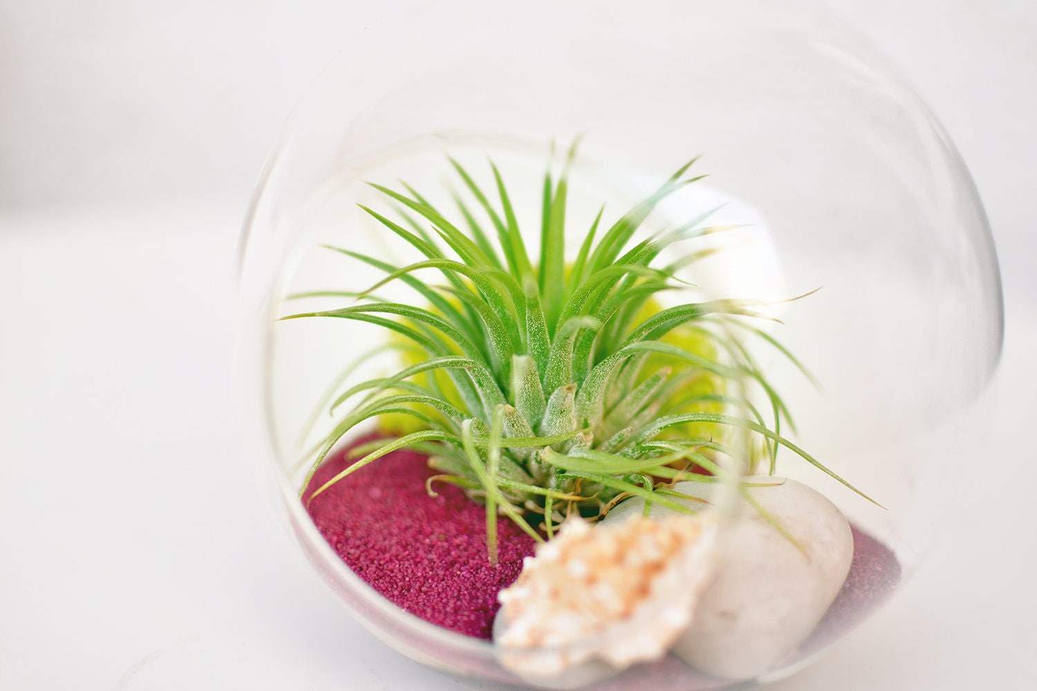 tillandsia ionantha rubra pflanze h ngen im glas vase. Black Bedroom Furniture Sets. Home Design Ideas