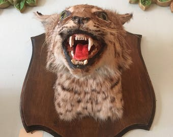 Viscious Taxidermied Bobcat Head Mount