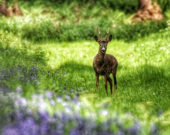 Stag and bluebells